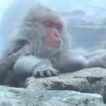 Japanese Snow Monkeys in Hot Springs